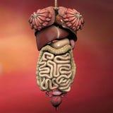 human för anatomihuvuddelkvinnlig Royaltyfri Fotografi