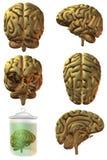 human för hjärna 3d Royaltyfria Foton