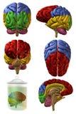 human för hjärna 3d Royaltyfria Bilder