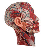 Human Face Anatomy. On white background Stock Photos