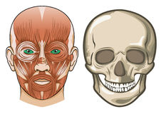 Human facial anatomy and skull in Vector Royalty Free Stock Photo