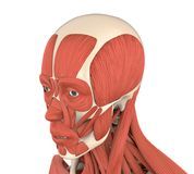 Human Facial Muscles Anatomy. Isolated on white background. 3D render royalty free illustration