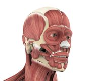 Human Facial Muscles Anatomy. On white background. 3D render royalty free illustration