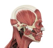 Human Facial Muscles Anatomy. On white background. 3D render vector illustration