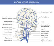 Human facial vein in vector Royalty Free Stock Images