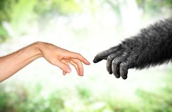 Human and fake monkey hand evolution from primates concept. Primate evolution concept of a human hand and a fake monkey hand reaching toward each other royalty free stock photography