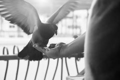 Human feed a bird. Stock Image