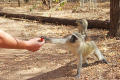 Human feeding monkey fruit Royalty Free Stock Photography