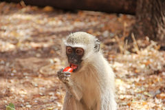 Human feeding monkey fruit Royalty Free Stock Photos