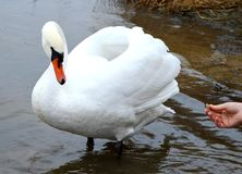 Human feeding swan Royalty Free Stock Photography