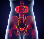 Human Female Kidney Anatomy Royalty Free Stock Image