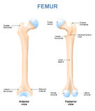 Human femur Royalty Free Stock Photo