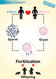 Human Fertilization Diagram Stock Image