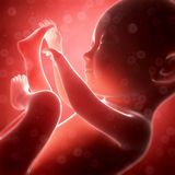 Human fetus month 7. 3d rendered illustration - human fetus month 7 Royalty Free Stock Images