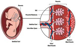 Human Fetus Placenta Anatomy Diagram. With all part including mother blood vessels umbilical cord placental membrane for medical biology education Stock Photos