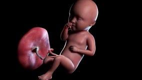 a human fetus week 34