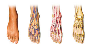 Human foot anatomy cutaway representation. Stock Images