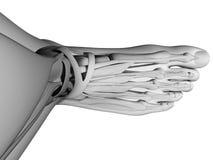 Human foot anatomy. 3d rendered illustration of the human foot stock illustration