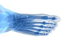 Human foot anatomy. 3d rendered illustration of the human foot royalty free illustration