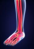 Human Foot Anatomy Stock Photos