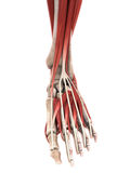 Human Foot Muscles Anatomy. 3D render Royalty Free Stock Photography