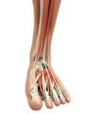 Human Foot Muscles Anatomy. Isolated on white background. 3D render Stock Photography