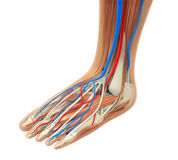 Human Foot Muscles Anatomy. Isolated on white background. 3D render Royalty Free Stock Images