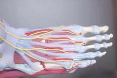 Human foot toes model. Human foot toes medical teaching model showing bones ligaments tendons and cartilage Royalty Free Stock Images