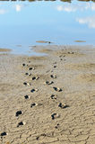 Human Footprints in the Mud Royalty Free Stock Photography