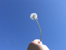 Human freedom - Dandelion seeds on blue sky Royalty Free Stock Photography