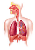 Human full respiratory system cross section. Cutaway diagram of a human respiratory sustem, also the nasal and mouth parts. 2 D digital illustration, on white