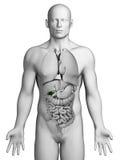 Human gallbladder Stock Photos