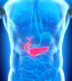 Human Gallbladder and Pancreas Anatomy Royalty Free Stock Image