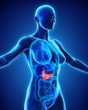 Human Gallbladder and Pancreas Anatomy stock illustration