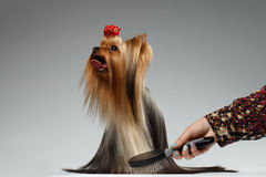 Human Grooming a Happy Yorkshire Terrier Dog on White Stock Photography