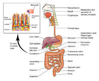 The human gut. The human alimentary canal from mouth to anus showing detail of intestinal mucosal cells Royalty Free Stock Images