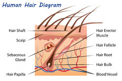 Human Hair Diagram Stock Photos