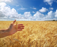 Human hand ahd wheat Royalty Free Stock Photos