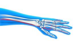 Human Hand Anatomy Illustration Royalty Free Stock Photography