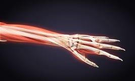 Human Hand Anatomy Illustration Royalty Free Stock Image