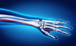 Human Hand Anatomy Illustration Royalty Free Stock Photo