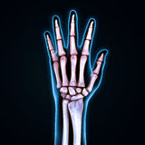 Human Hand Anatomy Illustration Royalty Free Stock Photography