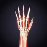 Human Hand Anatomy Illustration stock illustration