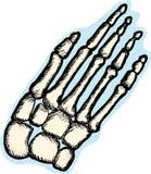 Human Hand Bones Royalty Free Stock Photography