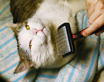Human hand with brush and male siberian cat. Close up portrait stock photo