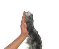 Human hand and dog paw. Handshake of human and dog friendship concept isolated on white background Stock Image