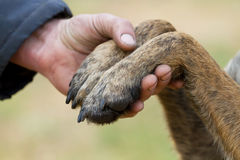 Human hand and dog paws. Human hand holding dog paws Stock Images
