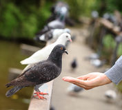 Human hand feeding the bird. Human hand feeding the bird Stock Photos