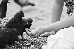 Human hand feeding the bird. Royalty Free Stock Images