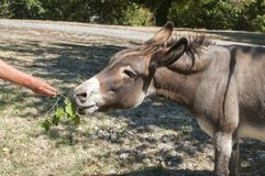 Human hand feeding donkey. With twig of green fresh leaves Stock Photos